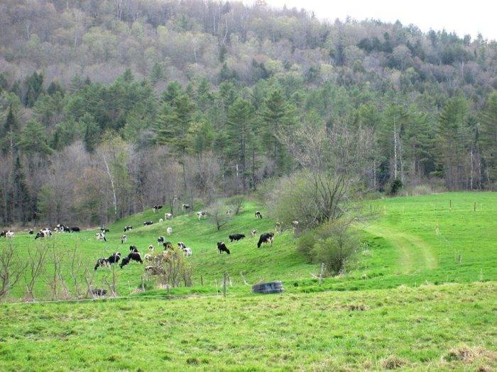 Landaff Erbs Cows